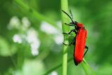 * Пролетно червен * ; comments:1