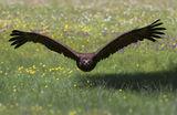 Черен лешояд ; comments:49