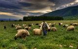 *** Гордостта на пастира *** ; comments:22