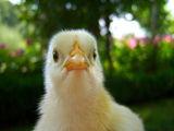 пиленце ; comments:2