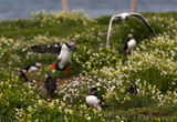 puffins 2010 2 ; Comments:11