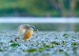 Гривеста чапла с рибка :) ; comments:57