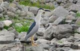 нощна чапла (Nycticorax nycticorax) ; Comments:5