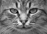 котаракът Венци ; comments:4