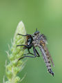 Хищна муха ; comments:13