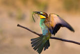 Bee-eater with prey ; comments:17