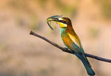 Bee-eater with prey ; comments:10