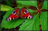 Дневна пеперуда-Пауново око !!! ; comments:26