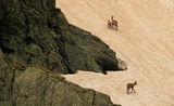 Семейство диви кози в Рила планина ; comments:15