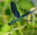 Calopteryx splendens - Beautiful Demoiselle ; comments:9