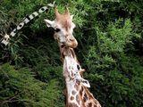 Жирафчета ; comments:1