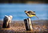 Жълта стърчиопашка ; comments:21