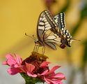 Papilio machaon - Голям полумесец ; comments:18