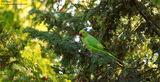... Wild Parrot ... ; comments:12