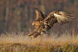 eagle ; comments:32