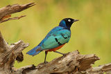 """""""Superb Starling"""" ; comments:27"""