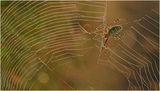 Тигров паяк ; comments:11