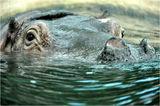 Hippopotamus amphibius ; comments:5