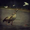Птиците отлитат на юг, гъските остават тук ; comments:19