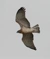 Орел змияр (Circaetus gallicus) ; comments:6