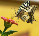 Papilio machaon - Голям полумесец, махаон ; comments:32