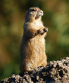 High in the Himalayan mountains lived a wise old M-r Marmot... ; comments:23