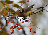 http://www.allaboutbirds.org/guide/Cedar_Waxwing/id ; comments:23
