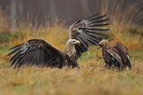 white tale eagle vs golden eagle ; comments:32