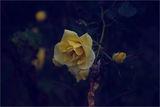 Есенни рози 2 !!! ; comments:29