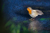 Robin ; comments:28
