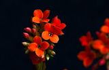 Kalanchoe ; Comments:6