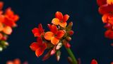 Kalanchoe ; Comments:5