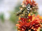 Papilio machaon - Голям полумесец, махаон ; comments:16