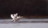 Ням лебед (Cygnus olor) ; comments:30