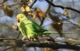... Wild Parrot ... ; comments:17