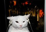 котка слуша Manowar ; comments:6