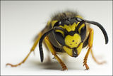 Vespula germanica ; comments:39