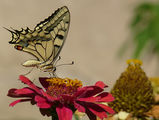 Papilio machaon - Голям полумесец, махаон ; comments:14