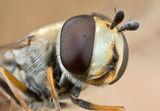 Syrphidae Portrait ; Comments:13