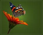пеперуда ; comments:24