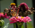Vanessa cardui - Дяволска пеперуда ; comments:14