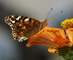 Vanessa cardui - Дяволска пеперуда ; comments:18