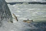 рибни неволи ; comments:35
