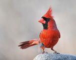 кардинал ; comments:28