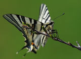 Лястовича опашка (Iphiclides podalirius) ; comments:4