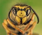 Wasp Portrait ; comments:36