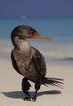 Портрет на един карибски корморан ; comments:30