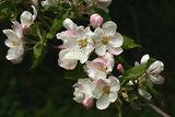 Ябълков цвят ; comments:6