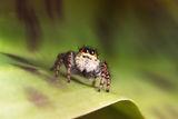 Скачащ паяк от семейство Salticidae ; comments:12