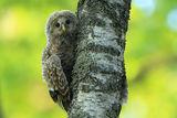 ural owl ; comments:29